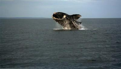 Secrets of the Southern Right Whales