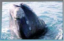 Do the whales move away from Hermanus because of Wi Fi?
