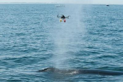 Researchers use Drones to fly through Whale spouts to study the breath of Whales.