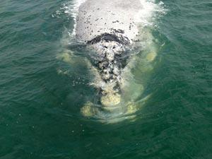 Facts about Southern Right Whales